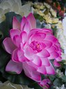 Blossom pink water lilly with beautiful petals