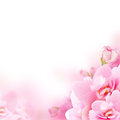 Blossom - pink flower, floral background Royalty Free Stock Photo
