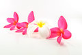 Blossom of plumeria flower tropical isolated on white background Royalty Free Stock Images