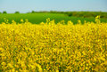 Blossom rape yellow plant field Stock Images