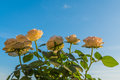 Roses , view from below, under blue sky. Royalty Free Stock Photo