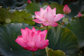 The blossom time lapse of lotus flower with the bee shows sequence re birth was approaching center finding Stock Image