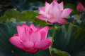 The Blossom Time-lapse of Lotus Flower Royalty Free Stock Photo