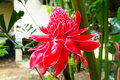 Blossom torch ginger flower in thailand Stock Image