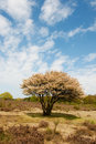 Blossom tree in heather landscape Stock Photos