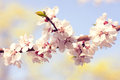 Blossom tree over nature background. Spring Royalty Free Stock Photo
