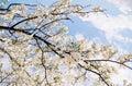 Blossom Tree Over Nature Backg...