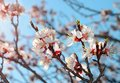 Blossom tree over nature background spring flowers spring Royalty Free Stock Photos