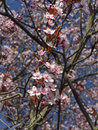 Blossom tree over nature background spring flowers spring background Royalty Free Stock Images
