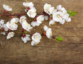 Blossom on wood spring background Royalty Free Stock Image