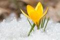 Blossom yellow crocus Royalty Free Stock Photo