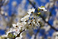 Blossomed apple tree in spring flower on background of blue sky a day Stock Images