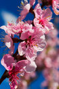 Blossomed apricot tree in spring flower on background of blue sky a day Royalty Free Stock Images