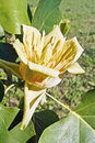 Blossomed flower of tulip tree liriodendron tulipifera Stock Images