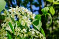 Blossomed flowers on the bird cherry tree. Royalty Free Stock Photo