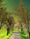 Blossomed tree alley along asphalt road at spring daylight Royalty Free Stock Photo