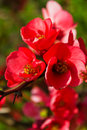 Blossomed tree chaenomeles japonica japanese quince branch blossoming in spring Stock Photo