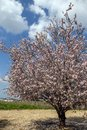 Blossoming almond tree in pink flowers against the sky Royalty Free Stock Photo