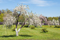 Blossoming apple orchard in spring Royalty Free Stock Photo