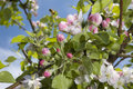 Blossoming apple tree beautiful spring branch against blue sky Stock Images