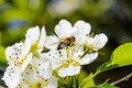 Blossoming apple tree and bee sitting on flower. Royalty Free Stock Photo
