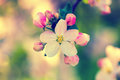Blossoming apple tree branch with a flower and buds Royalty Free Stock Images