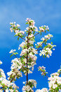 Blossoming apple tree branches of against sky Stock Image