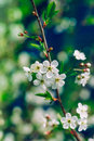 Blossoming apple tree brunch with white flowers or cherry on green and dark blue background macro closeup filter effect Stock Photography