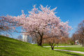 Blossoming apple tree in a park sunny day Royalty Free Stock Photo