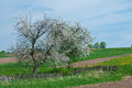 Blossoming apple tree in spring Stock Photo