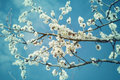 Blossoming apple tree tree in spring day white flowers of an flower background Stock Images