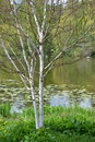 The blossoming birch useful Himalaya Betula utilis D.Don on the bank of a pond Royalty Free Stock Photo