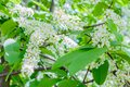 Blossoming bird cherry Prunus padus, hagberry, mayday tree spread the fragrant aroma. The hackberry tree in full bloom on the