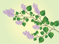 The blossoming branch of lilac Stock Images