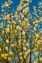 The blossoming branch of a willow yellow blossomed in spring Stock Photography