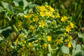 The blossoming branch of yellow flowers lion s foot flower israel Royalty Free Stock Image