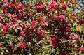 Blossoming branches of the crabapple tree