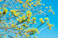 Blossoming buds of a tree maple, flowering maple in the spring on a clear sky. Royalty Free Stock Photo