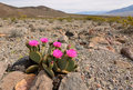 The blossoming cactus in the desert Royalty Free Stock Photo