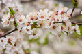 Blossoming cherry branch of tree Stock Images