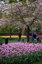 The blossoming cherry tree in the park Royalty Free Stock Photo