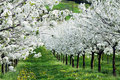 Blossoming cherry-trees Royalty Free Stock Photo