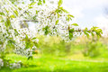 Blossoming of cherry trees spring flowers with sun rays nature landscape selective focus Royalty Free Stock Photography