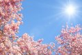 Blossoming cherry trees and the sun Royalty Free Stock Photo