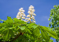 Blossoming Chestnut Tree Stock Image