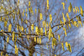 The blossoming common hazel hazel grove corylus avellana l h karst Stock Photo