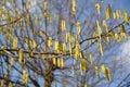 The blossoming common hazel hazel grove corylus avellana l h karst Stock Photo