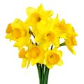 Blossoming daffodils isolated on white Royalty Free Stock Photo