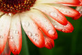 Blossoming flower gerbera with water drops closeup Royalty Free Stock Photography