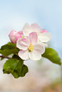 Blossoming flowers of an apple tree closeup brunch with white Stock Photo